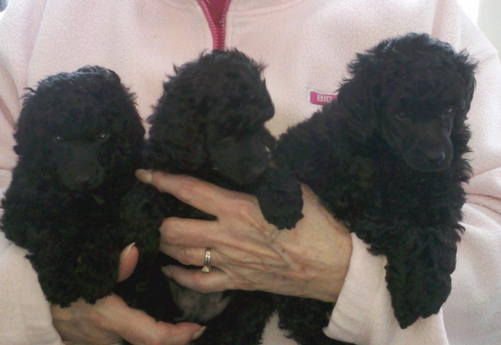 Trey/Zinnia Puppies 5 weeks