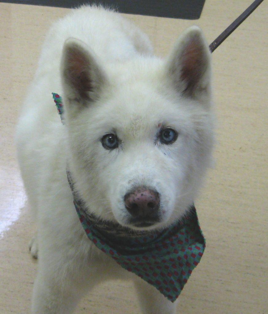 Yogi our 14 year old Siberian Husky